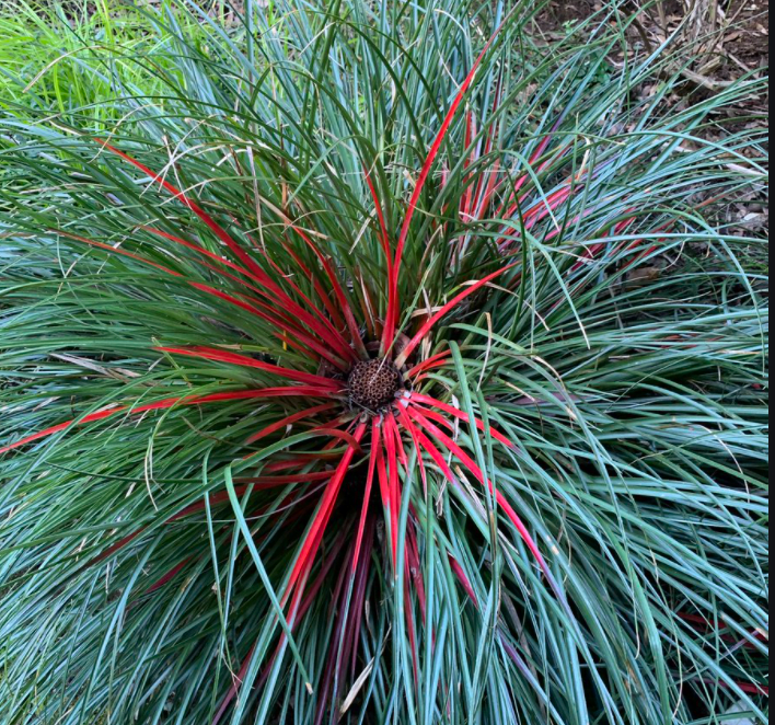 We nurtured unusual plants like Fascicularia-bicolour which were for sale in our plant centre.